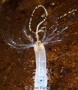 Sea Cucumber releasing eggs